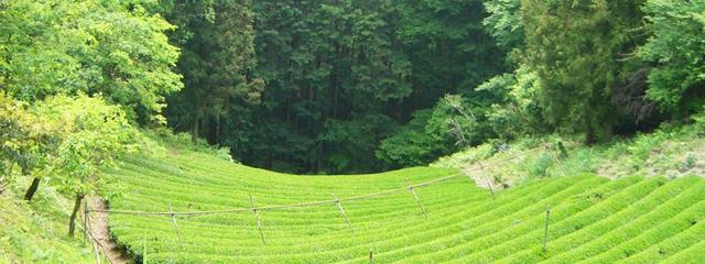 -秋- オチャと茶畑